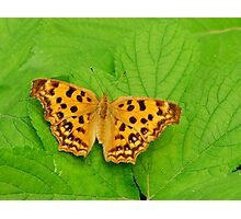 comma butterly Photographic Print