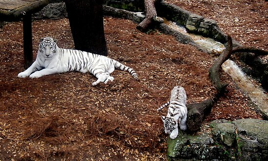 rare white tiger and cub by Leeanne Middleton