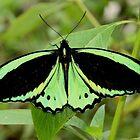 Bird Wing Butterfly by Gail Falcon
