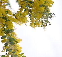 Wattle in bloom by stevefrombris