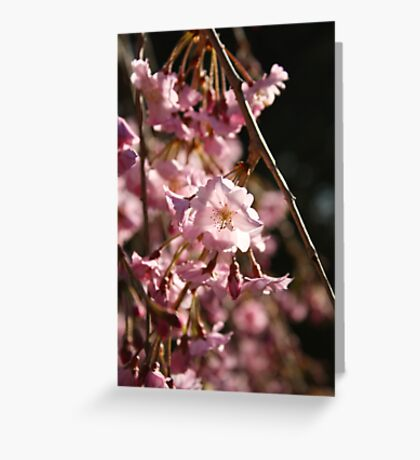 Full Bloom Cherry Blossoms Greeting Card