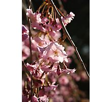 Full Bloom Cherry Blossoms Photographic Print