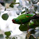 Swift Parrot ( not a lorikeet ) by john  Lenagan