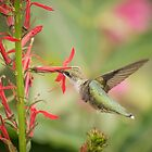 Ruby Throated Hummingbird 5-2015 by Thomas Young
