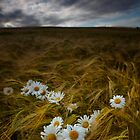 Daisies and Barley by Kathy Wright
