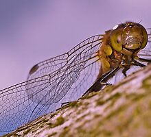 Darter 2 by Gareth Jones