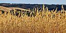 Fields of Gold by Helen Vercoe