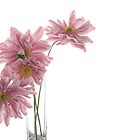 Lady Gilmour Double Japanese Anemones by Ann Garrett