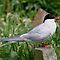 Arctic Tern (sterna paradisea)  by Tom Curtis