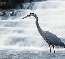 Great Blue Heron Stalking by Bill Spengler