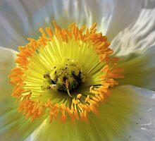 Wild Desert Poppy by Andrea Kosciusko