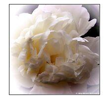 """White Peony"" 1 by Maj-Britt Simble"