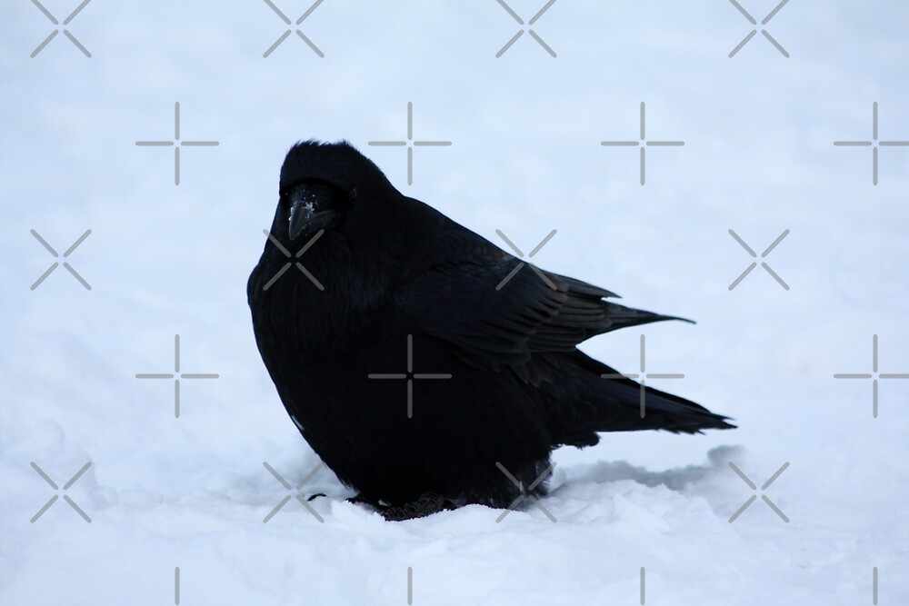 Winter Raven by Alyce Taylor
