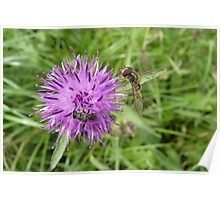Knapweed and two visitors Poster