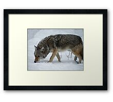 Coyote in the snow Framed Print