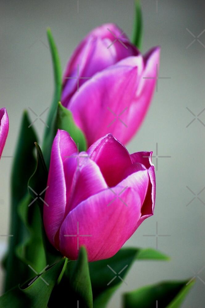 Purple tulips by loiteke