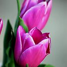 Purple tulips by loiteke