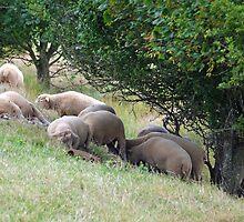 Sleep Sheep at Abbotsbury,Dorset UK by lynn carter