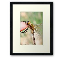 Brilliant Emerald, Somatochlora metallica on the photographer's finger.A Framed Print