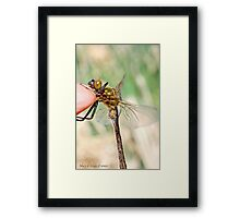Brilliant Emerald, Somatochlora metallica on the photographer's finger. Framed Print
