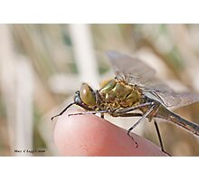 Brilliant Emerald, Somatochlora metallica on the photographer's finger.B Photographic Print