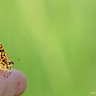 Checquered  skipper on the photographer's finger A by pogomcl