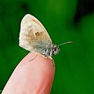 Small Heath. Coenonympha pamphilus,  on the photographer's fingers by pogomcl