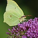 Cabbage White by jaffa
