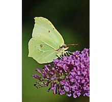 Cabbage White Photographic Print
