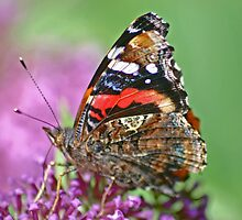 red admiral  by jaffa