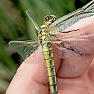 Black-tailed Skimmer on the photographer's hand  by pogomcl