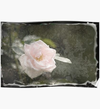 Solitary Pale Rose  Poster