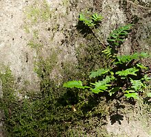 Resurrection Fern by Phillip M. Burrow