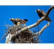 Black Breasted Buzzards Photographic Print