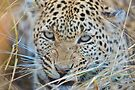 Snarling surprised Leopard, Kwara Concession, Botswana by Neville Jones
