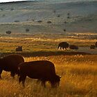 Bison Grazing Just Before Sunset by Robert H Carney