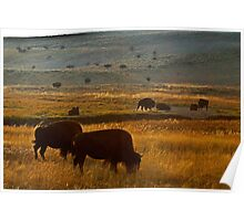 Bison Grazing Just Before Sunset Poster