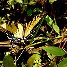 Swallowtail by Valarie Napawanetz