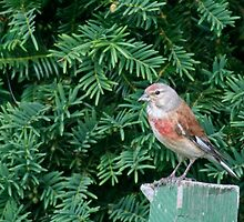 An uncommon Common Linnet by Stefanie Köppler