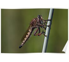 Bearded Robber Fly with Bee Poster