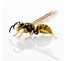 wasp Vespula germanica species isolated on white background Photographic Print