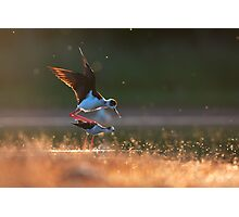Black-winged stilts mating Photographic Print