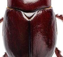 "European rhinoceros beetle female ""Oryctes nasicornis"" species Sticker"