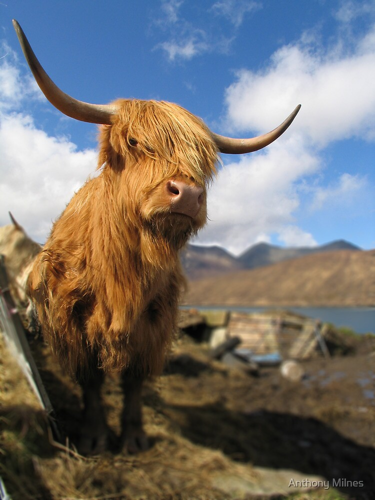 Hairy Cows, Scottish Highlands by Anthony Milnes