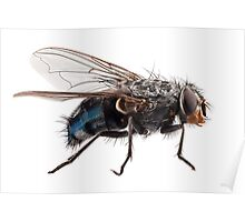Blue bottle fly species calliphora vomitoria isolated on white background Poster