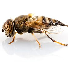 Eristalinus taeniops hoverfly isolated oin white background by paulrommer
