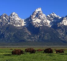 Bison Herd Panorama by David Kocherhans