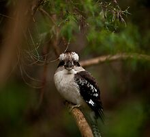 Kookaburra, Mount Dandenong by Anthony Milnes