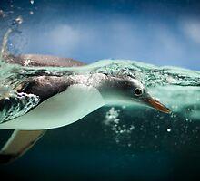 Gentoo Penguin, Melbourne Aquarium by Anthony Milnes