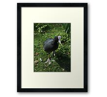 silly  coot! Framed Print